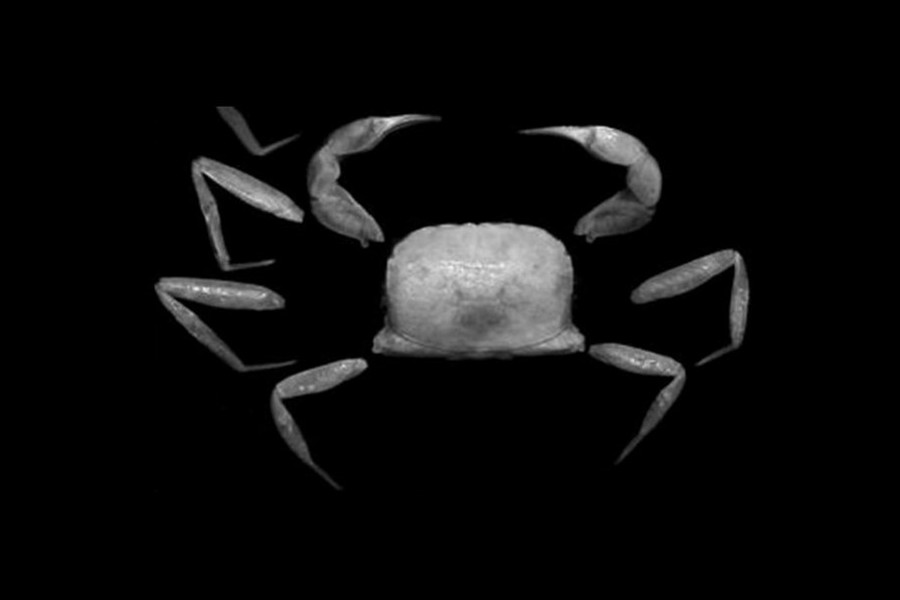 Typhlocarcinops raouli, a new species of crab have been certified near PTFI