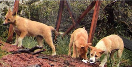 New Guinea Highland Wild Dog Confirmed in the Papuan Highlands