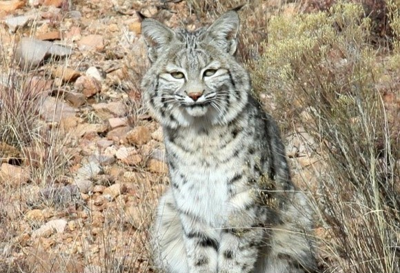 Arizona Bobcat