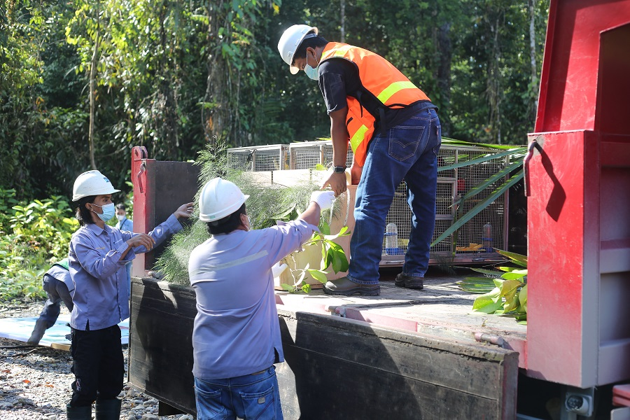 Kuala Kencana jungle was chosen for the release, as it is a natural habitat for the animals