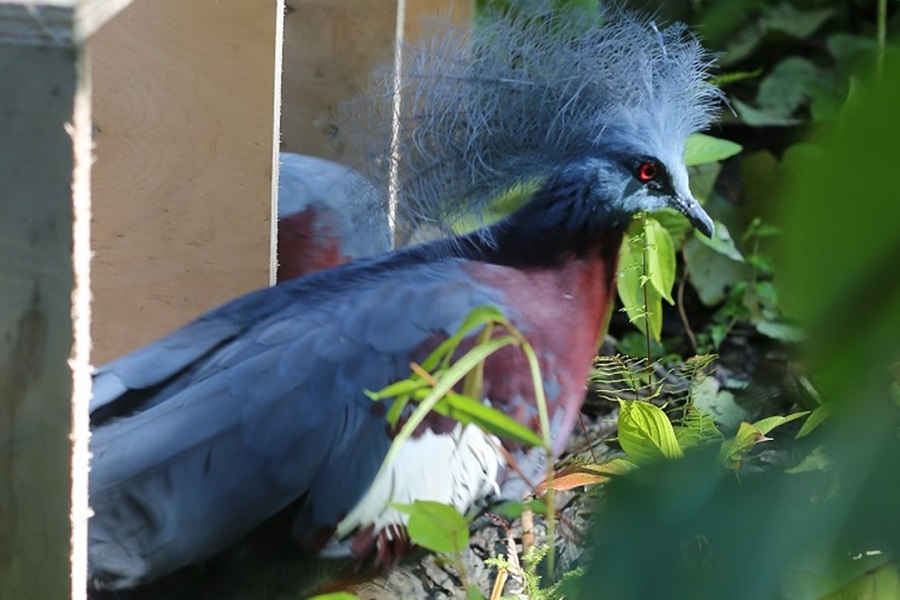 southern crowned pigeons (Goura scraterii)