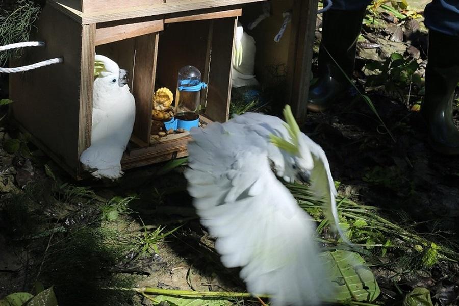 Cockatoos (Cacatua galerita)
